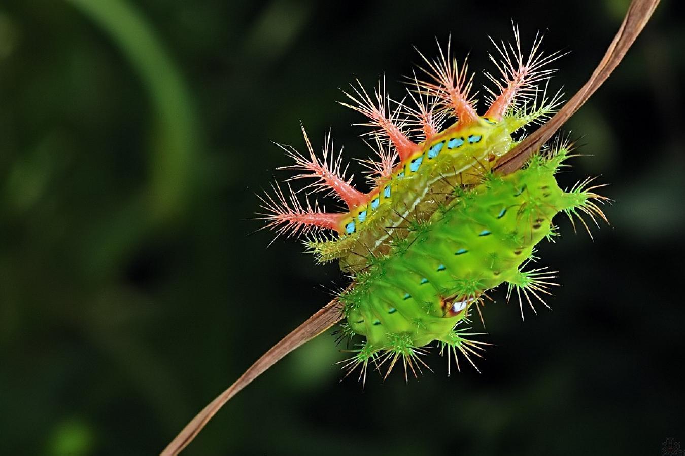 乡下这虫子长得像糖宝,人见人怕,摸一下提神醒脑