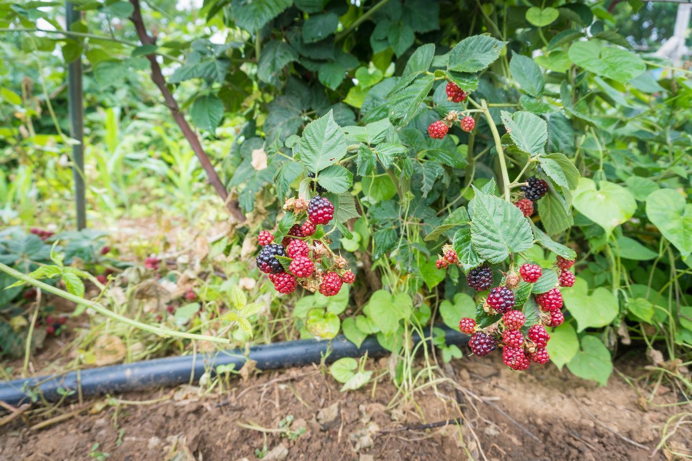 农村小伙不出门打工 回家种黑色水果每年净赚50万