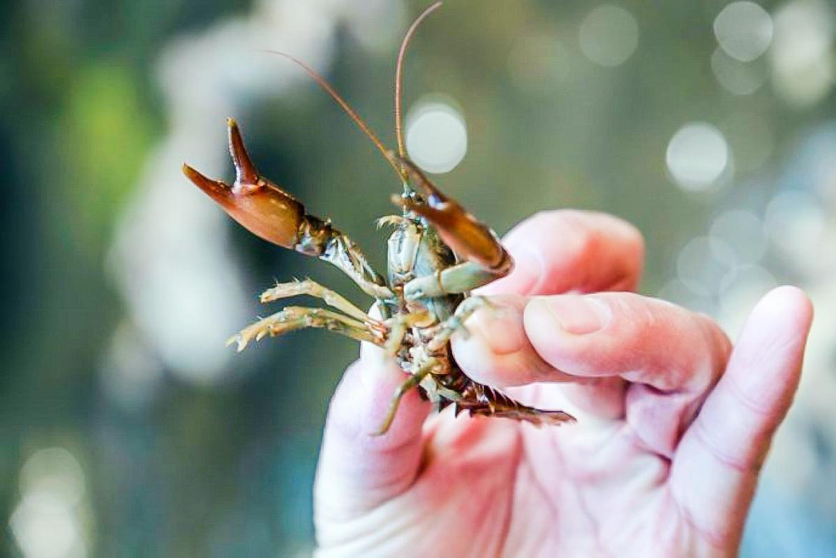 它常被错认成南方小龙虾,价格是龙虾3倍,却少有人吃过