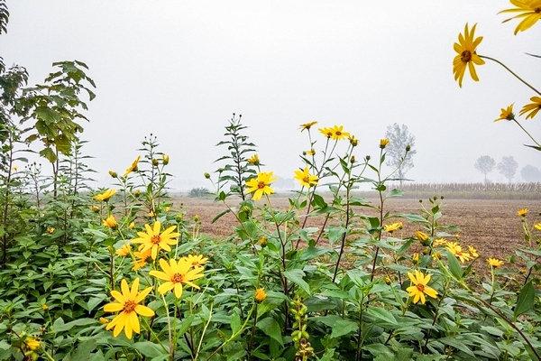 它常被错认成野菊花,农民看见就砍掉,殊不知是富贵病克星