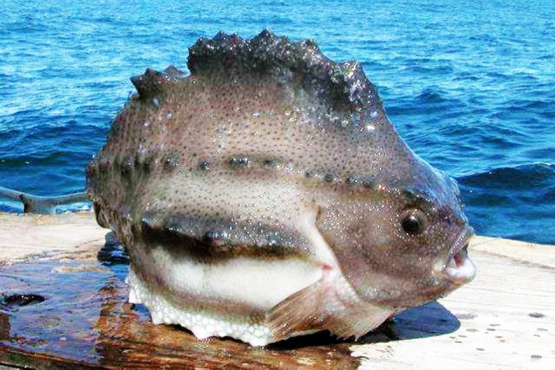 """它是鱼中海参,高钙之王,人称""""三高鱼"""",不仅美容还能治病"""