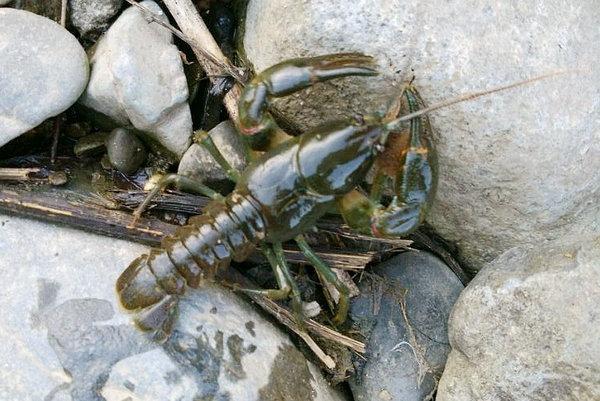 它酷似小龙虾,生长地堪比仙境,却常被误认成入侵物种