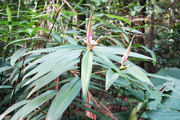 """山上这种""""竹子"""",果实似橄榄,对肾虚有好处人称""""仙果"""""""