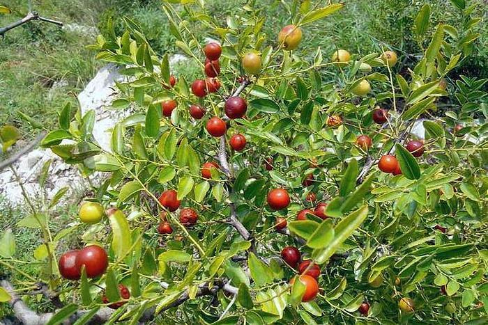 这植物满身是刺,果实是农村娃的零食,不容易采摘,却有安神功效