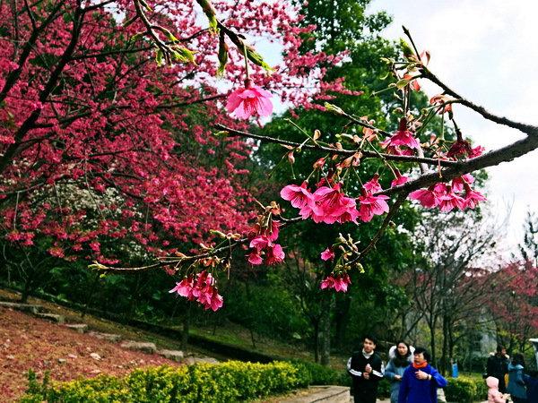 犬力以赴,慢步樱花林里,赏樱季里不孤单