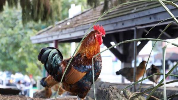 为什么鸡走路时一抖一抖 脑袋一突一突?的照片 - 1