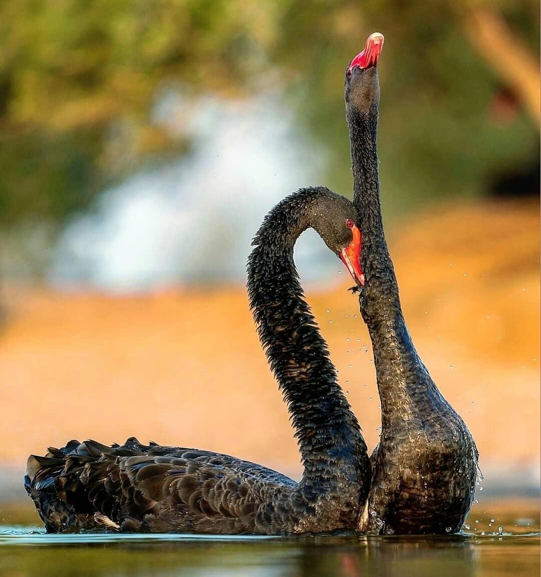 黑天鹅之恋