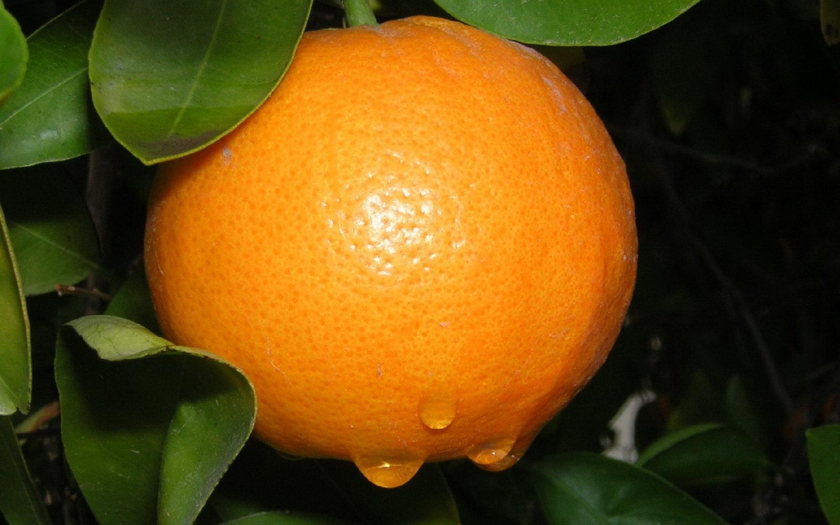 树枝上纽荷尔脐橙精美图片