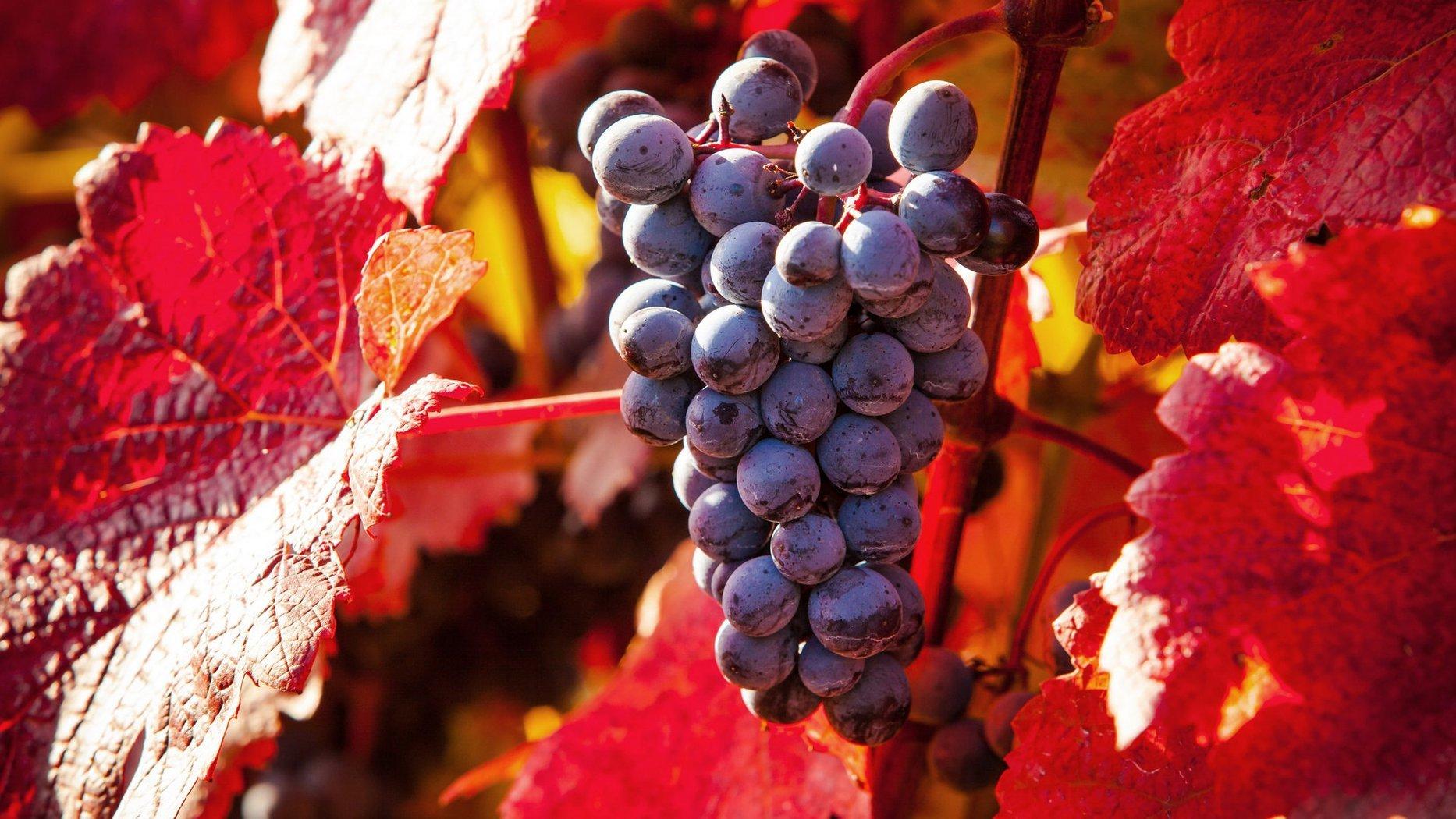 酷似水晶造型的蓝莓葡萄精美拍摄图片