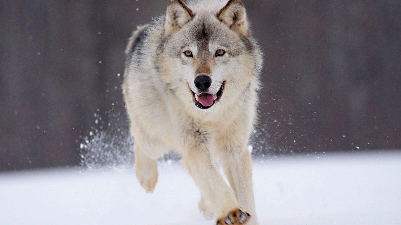 神秘的狼图腾高清图片大全