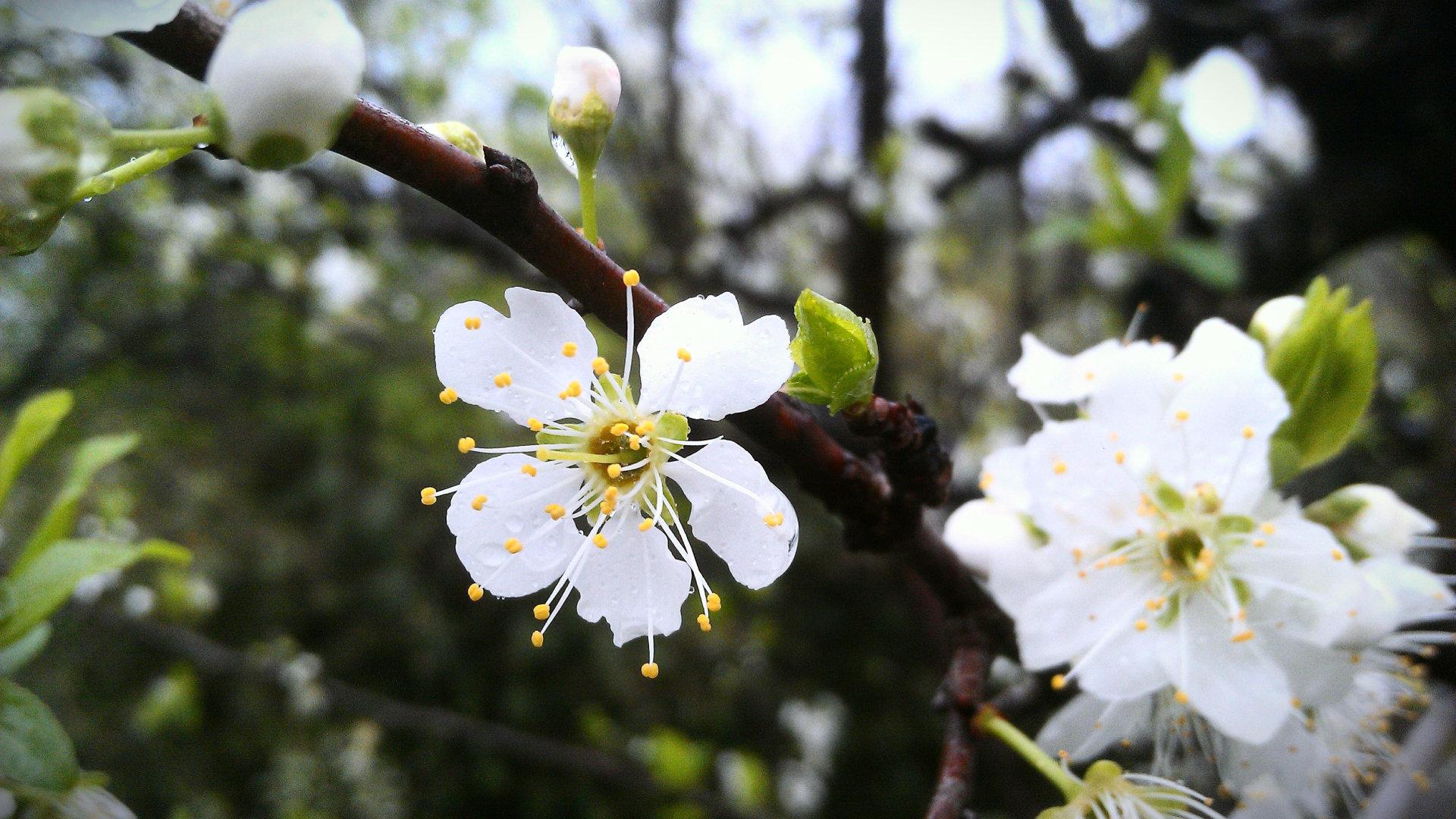 白色的桃花高清图片大全