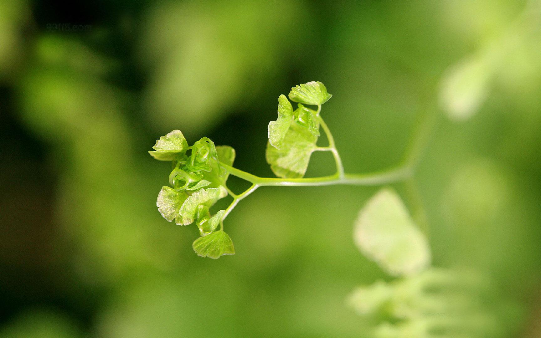 养眼护眼铁线蕨常绿草本植物4K高清图片素材