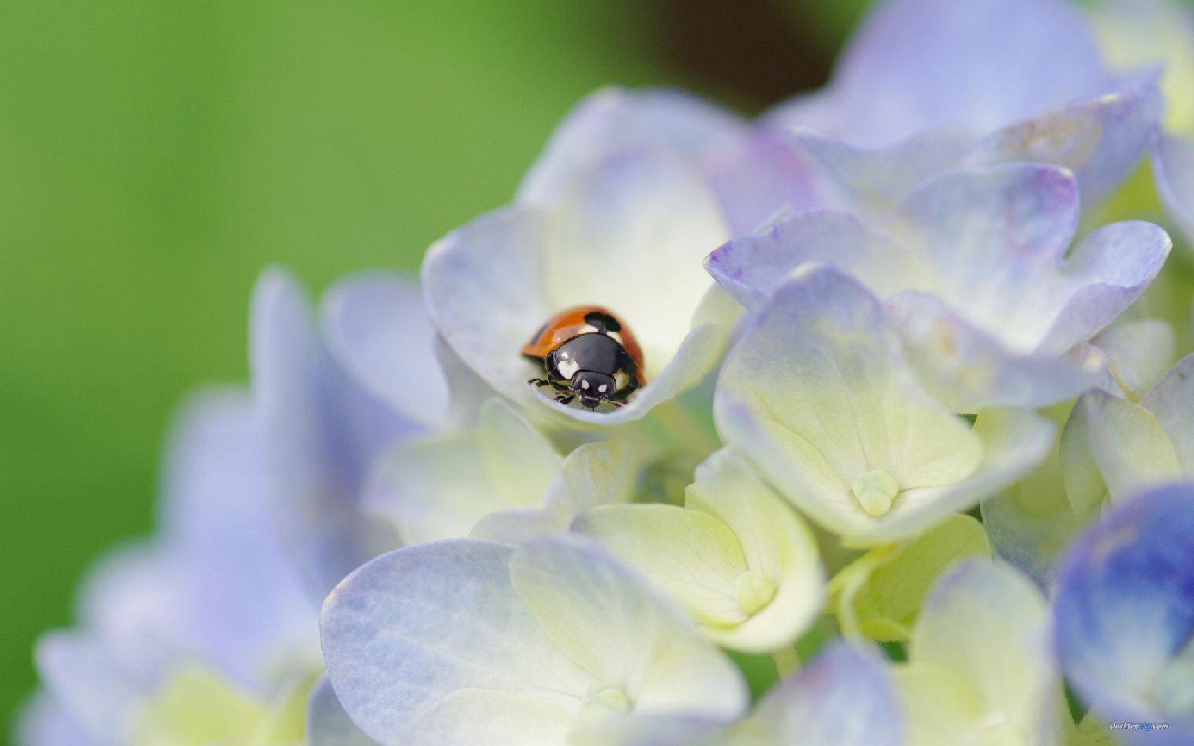 美丽清雅的绣球花2K高清图片素材