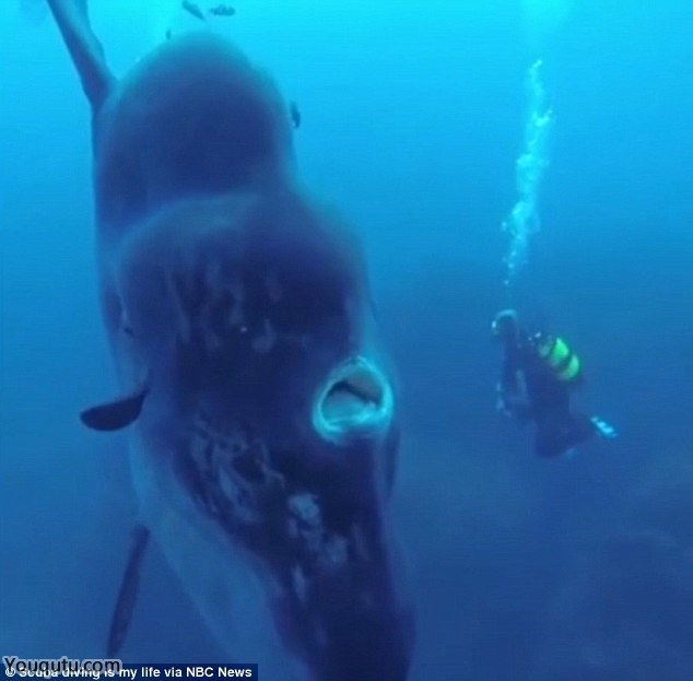 """【动植物】潜水者近距离拍摄翻车鱼:外形古怪似""""半只鱼""""[8P]"""