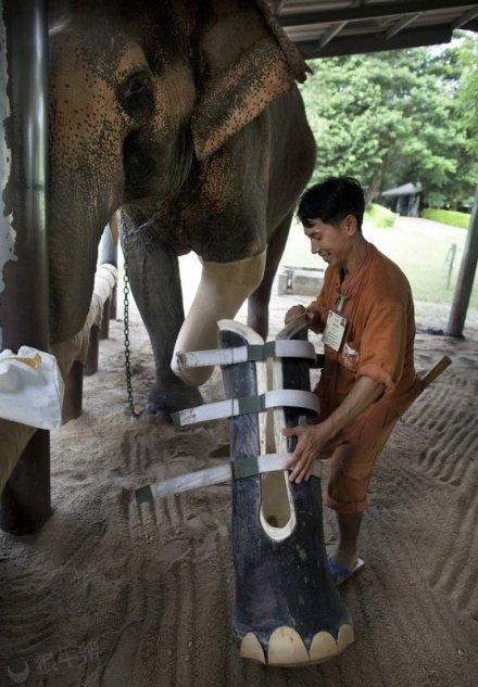大象也用上了假肢~