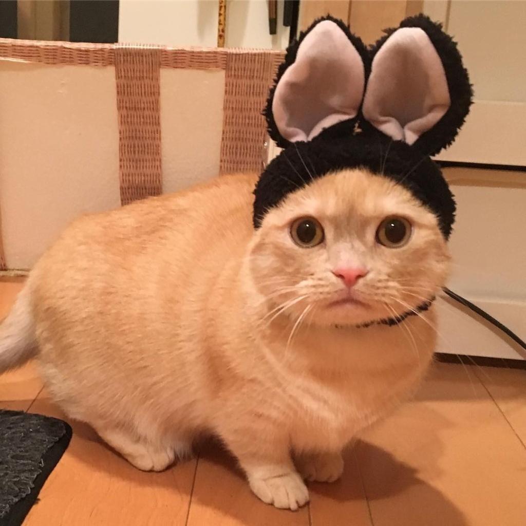 主人帮猫咪戴上兔耳朵之后,萌炸了! 趣图