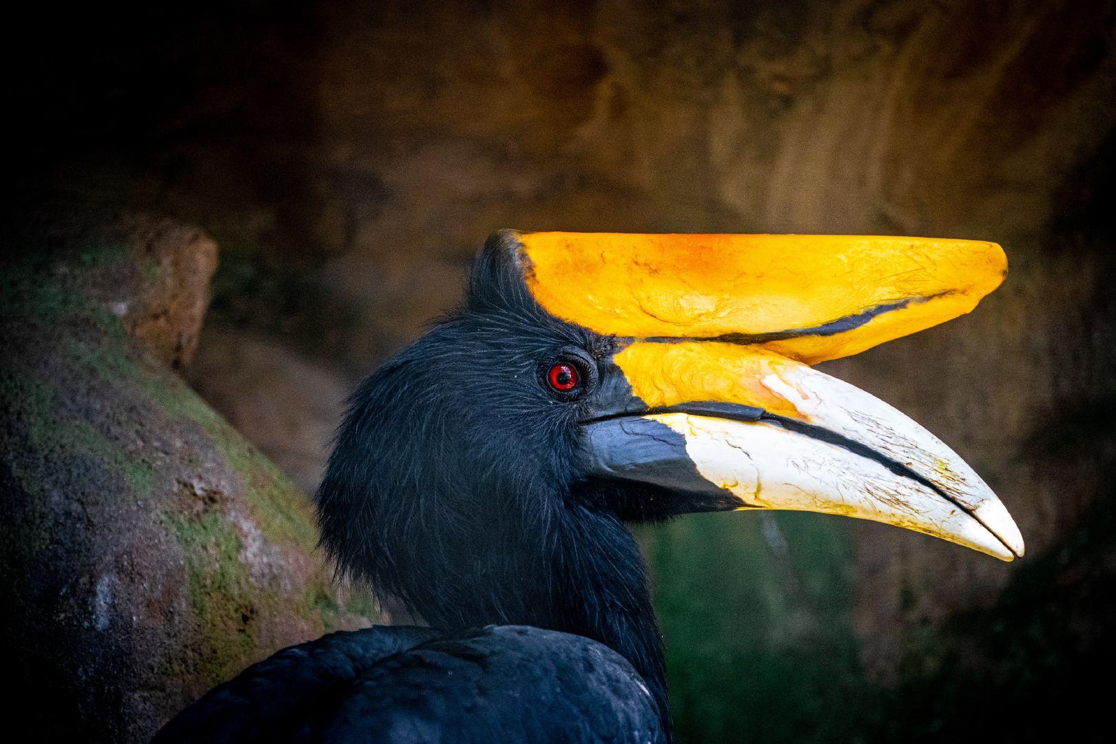 虞山动物园里长相奇特的巨嘴鸟高清特写图集