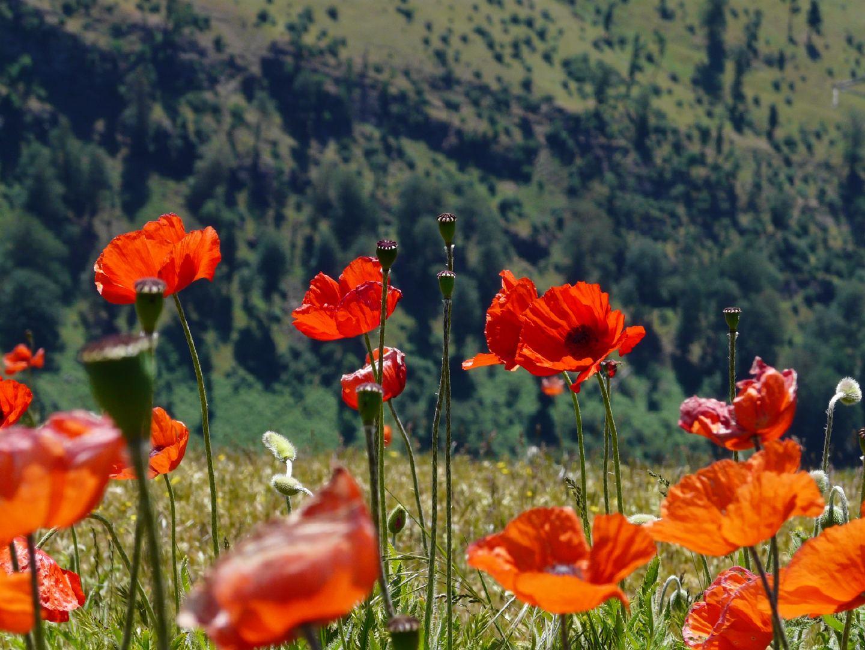 颜色艳丽的红色罂粟花田高清特写图集