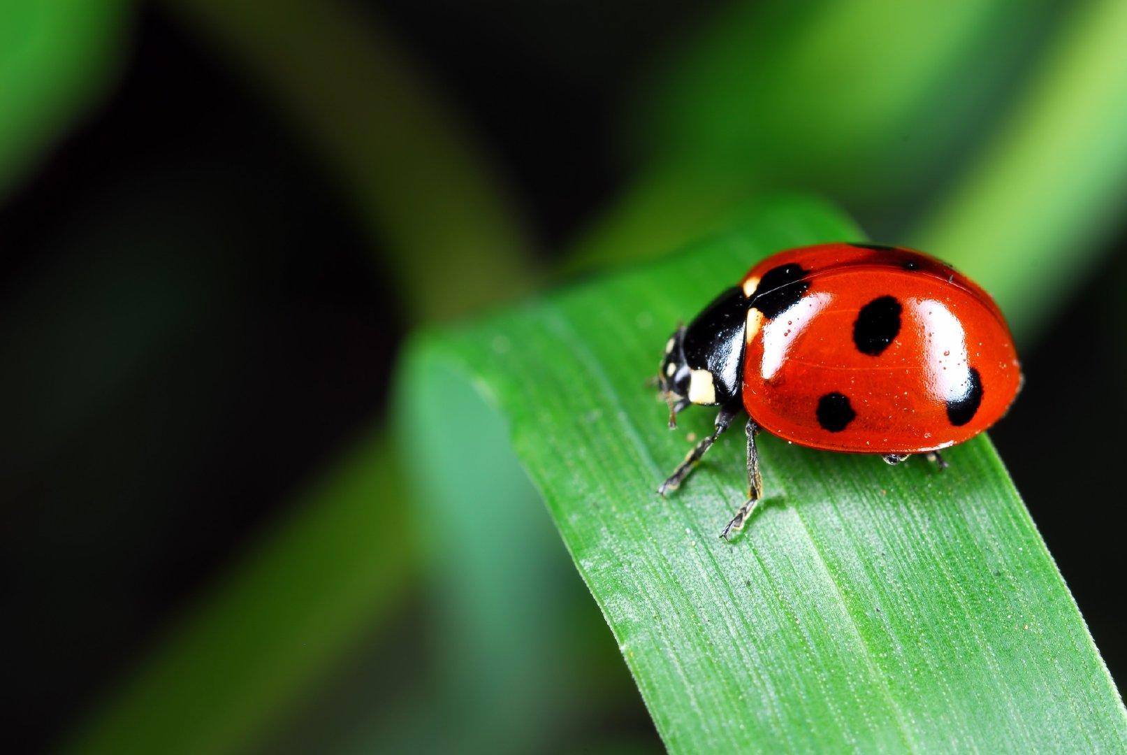 在植物上休息的红色七星瓢虫高清微距摄影图