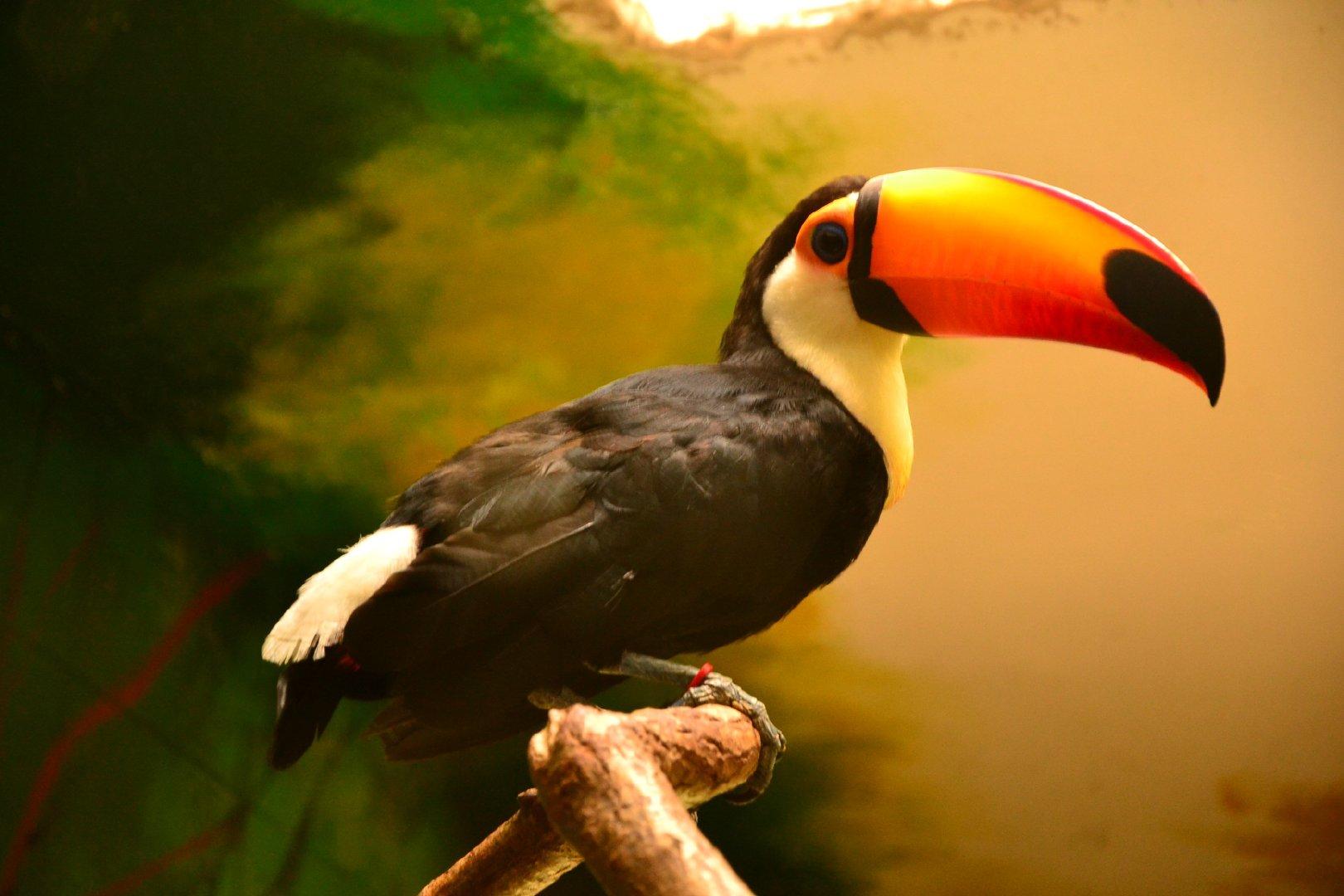 树枝上可爱的大嘴巴巨嘴鸟高清摄影图