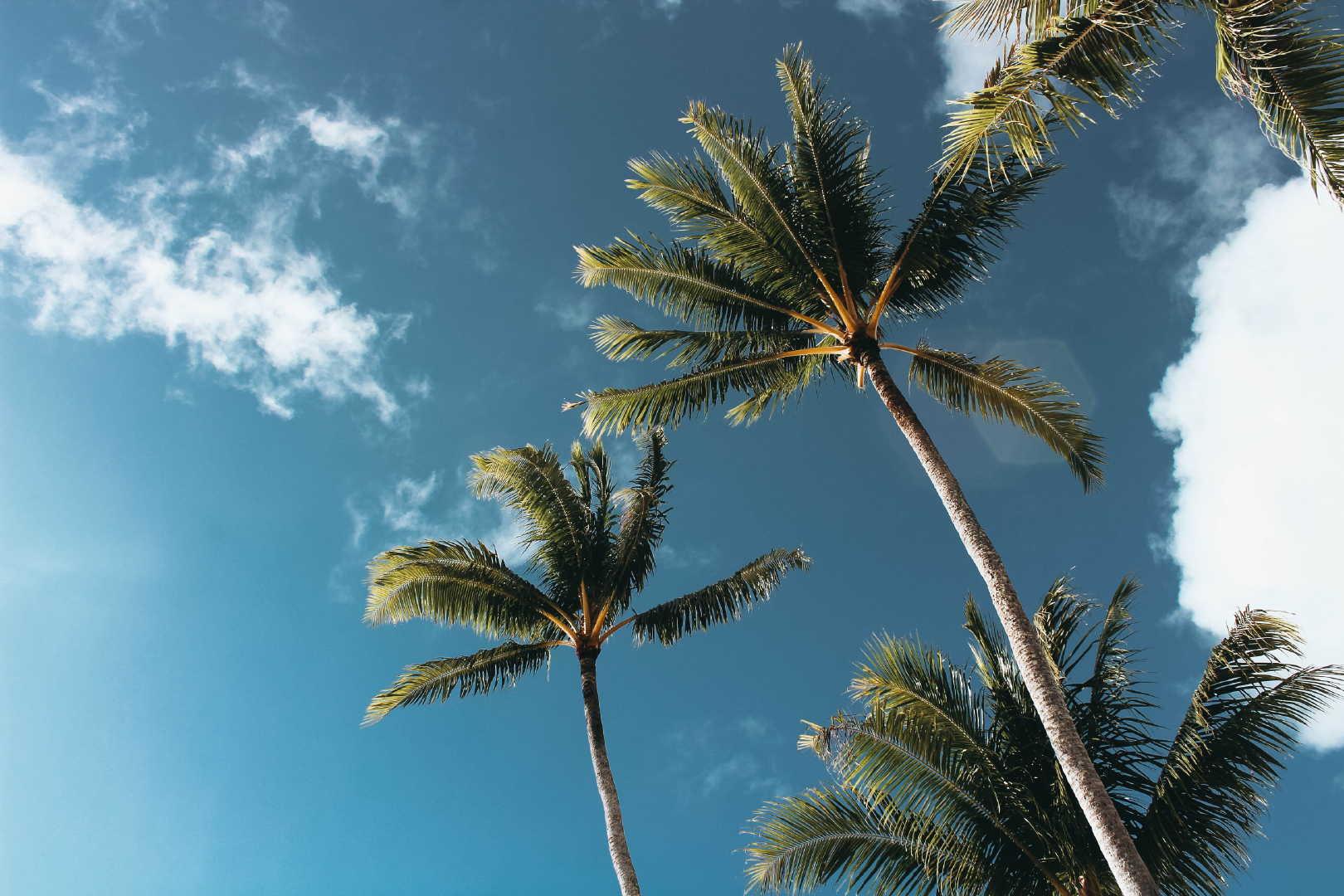 高大挺拔的椰子树高清桌面壁纸