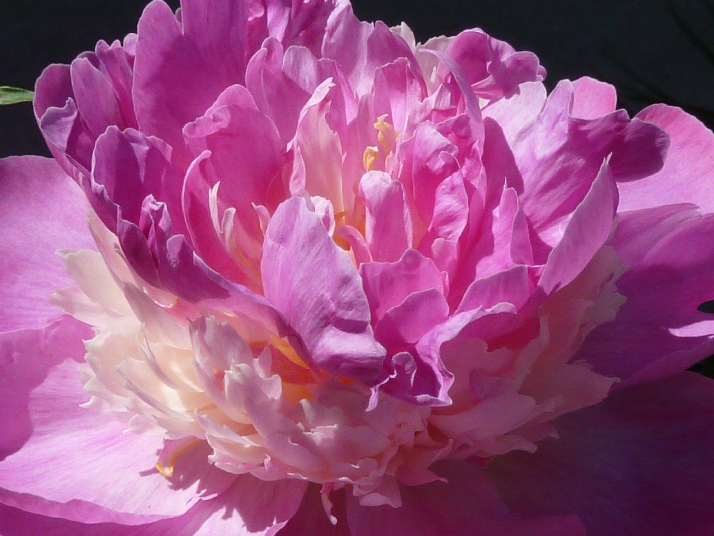高贵大气的花中皇后牡丹高清特写图集