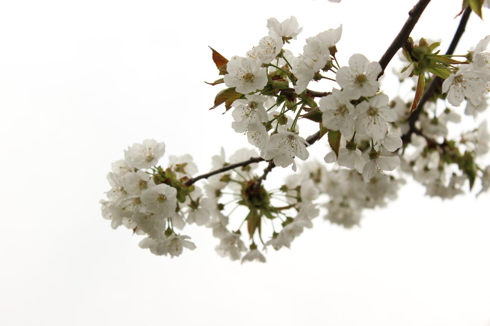 盛放在寒冬的梅花壁纸图集