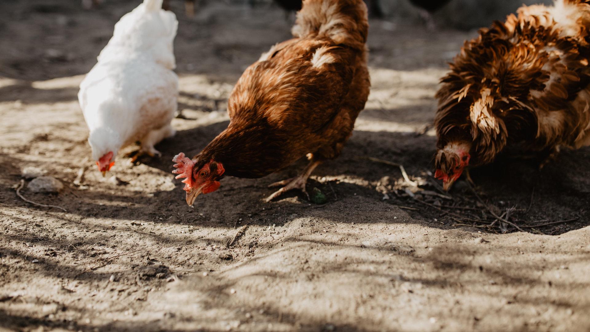 悠闲自在觅食的母鸡高清图集