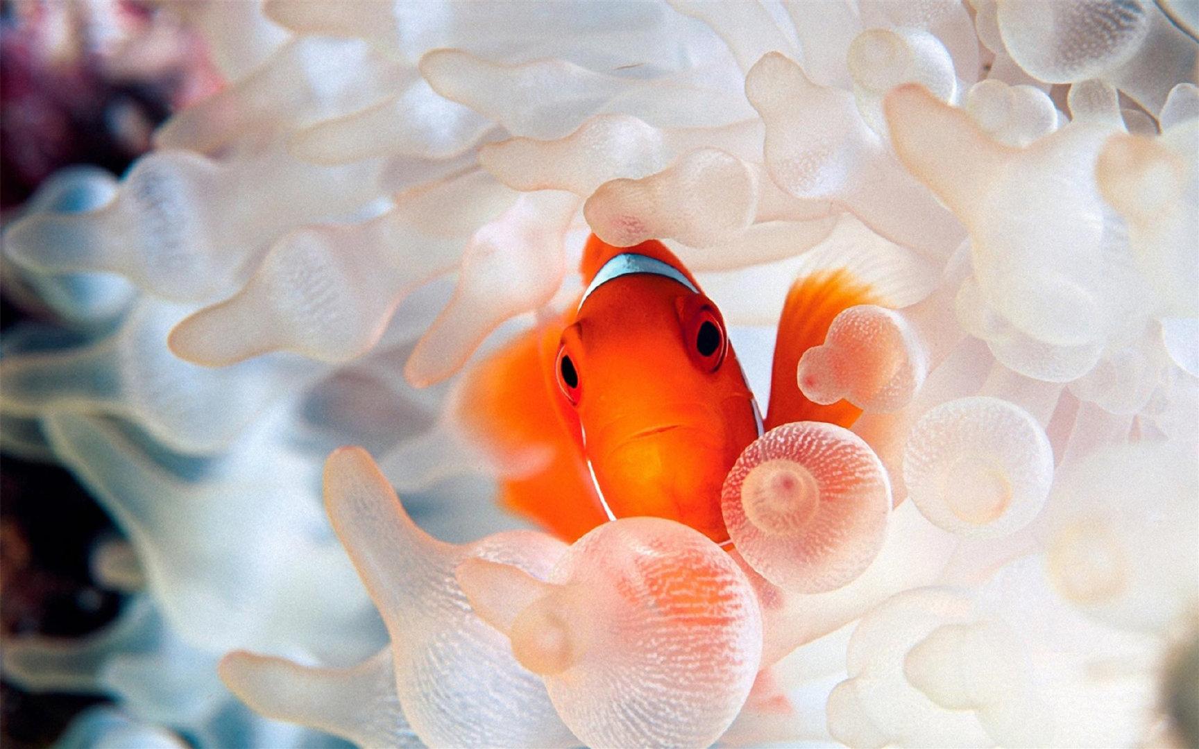 海洋世界和海葵相依为命的小丑鱼高清电脑壁纸