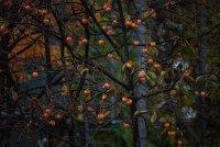 秋冬成熟的金黄色柿子高清摄影图片