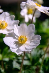 纯洁美好的银莲花高清壁纸大全