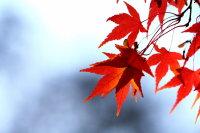 被瑟瑟秋风吹红了的枫叶高清桌面壁纸