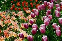 五颜六色的郁金香花高清特写图集