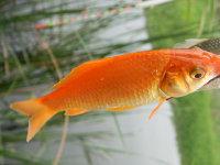 在水中自由自在的观赏鱼高清壁纸大全