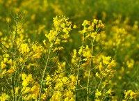 清新自然的金色油菜花高清桌面壁纸