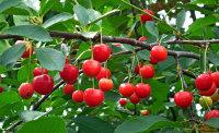 挂在枝头上的红樱桃高清特写图集