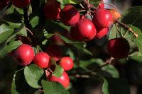 苹果树上红中透黄的小苹果高清特写图集