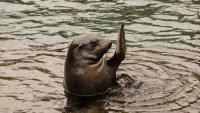 在水面玩耍的海狮高清桌面壁纸
