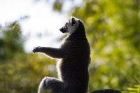 上海野生动物园机灵敏捷的环尾狐猴高清特写图集