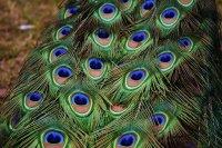 优雅美丽的孔雀羽毛微距摄影图片