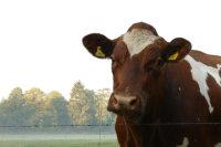 温驯可爱的奶牛壁纸图集