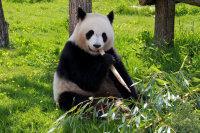 动物园中正在专心吃竹叶的大熊猫超清图集