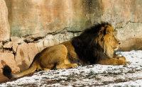 动物园中凶猛的雄狮摄影图片
