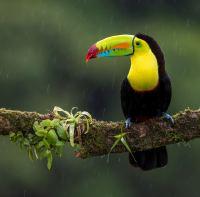 树枝上色彩艳丽的巨嘴鸟桌面壁纸