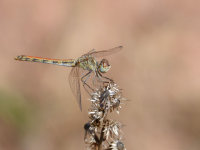 停驻在枯枝和植物上的蜻蜓精美图集