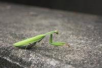 隐匿在一片翠绿中的螳螂高清图集