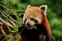 朝气蓬勃毛茸茸的小熊猫精美图集