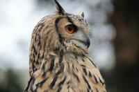 有着浅色瞳孔的大角猫头鹰高清图集