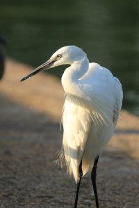 自在漫步的纯白优雅白鹭精美图集