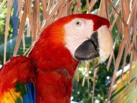 色彩艳丽的红色金刚鹦鹉桌面壁纸